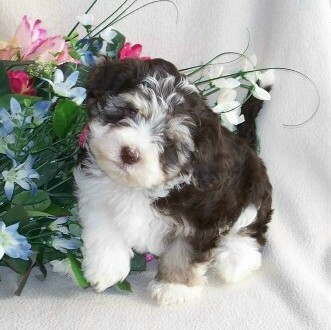 Search Results Specializing In One Akc Non Shedding Toy Breed